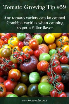 Tomato Growing Tip tomato varieties for canning with Tomato Dirt Growing Tomatoes From Seed, Types Of Tomatoes, Growing Tomato Plants, Yellow Tomatoes, Growing Tomatoes In Containers, Growing Vegetables, Cherry Tomatoes, Tomato Garden, Vegetable Garden