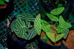 Christia obcordata, aka Swallowtail Plant  http://davesgarden.com/guides/pf/go/102084/
