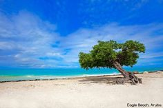 Can you name this famous tree that is also Aruba's nature compass? barretttravel.globaltravel.com pamelabarrett22@gmail.com