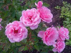 Malaguena Shrub Roses, Rose, Flowers, Garden, Rose Garden, Shrubs, Plants