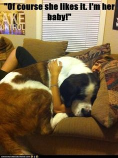 Big dogs that think they are lap dogs. I wish I had a Saint Bernard! Funny Dogs, Cute Dogs, Funny Animals, Cute Animals, Baby Animals, Stupid Animals, Wild Animals, Love My Dog, Lap Dogs