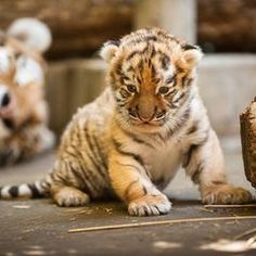Resim: An Amur tiger cub at the Pittsburgh Zoo (© Paul A. Selvaggio/Pittsburgh Zoo and PPG Aquarium/AP) Big Cats, Cats And Kittens, Cute Cats, Siamese Cats, Beautiful Cats, Animals Beautiful, Pretty Cats, Siberian Tiger Facts, Pittsburgh Zoo
