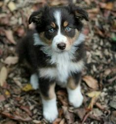 Golden retriever siberian husky mix, oh yes please!!