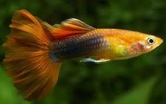 Resultado de imagen para peces guppy
