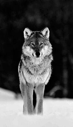 BEAUTIFUL PROUD WOLF!