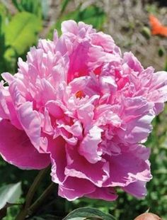Peony Dr Alexander Fleming. This has double rich pink, sweetly scented flowers, touched with silver. The blooms are shallowly domed with a middle of loose petals forming a swirl. E...