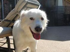 Murphy is an adoptable Shepherd Dog in Dallas, TX. Welcome to DASH Dog Rescue! General Info - PLEASE READ! Murphy is a beautiful white shepherd that is very easy going and will fit into about any hou...