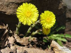 Coltsfoot (Tussilago farfara) • Family: Aster (Asteraceae)  • Habitat: roadsides, waste places • Height: 3-18 inches • Flower size: 1 inch across • Flower color: yellow • Flowering time: February to May The leaves appear after the flowers have gone  • Photo by Doug Colter