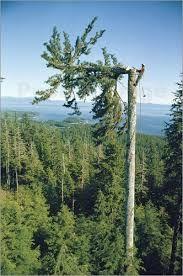 mammutbäume bilder - Google-Suche
