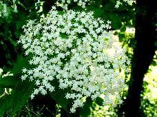 Holunder (Sambucus nigra)  Der Holunderbusch wächst besonders gerne in der Nähe von Behausungen, daher ist es meistens recht einfach, ihn zu finden. Von Mai bis Ende Juni entfaltet er seine weissen Blüten-Dolden, die weithin duften.  Als Tee werden seine Blüten gerne für Schwitzkuren bei Fieber und Erkältung eingesetzt.
