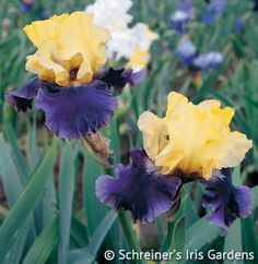 Jurassic Park's colors (canary yellow standards and blended lavender-purple falls) are similar, but more intense, than those of its illustrious grandparent, Edith Wolford. Its broad ruffled form and large...