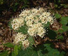 Maple Leaf Viburnum - Viburnum acerifolium (2-6' tall) dappled sun to light shade, medium to dry soil