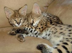 how to buy a serval cat