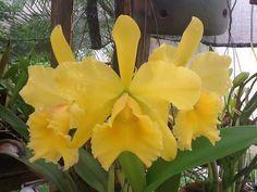 Minha orquídea!!!!!!2013