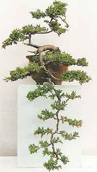 Bonsai Tree Histories: Juniper Bonsai Case History (juniperus squamata)