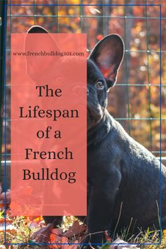 How long do French Bulldogs Live? What is the average lifespan of a French Bulldog? These are all common questions when it comes to preparing yourself for your new Frenchie pet. Here are the answers to your questions in this post. French Bulldog Facts, French Bulldog Puppies, French Bulldogs, Little Dogs, Snuggles, Things To Come, Live, Pets, Blog