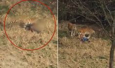 Tiger drags a man into its zoo enclosure and mauls him to death #DailyMail | These are some of the stories. See the rest @ http://www.twodaysnewstand.com/mail-onlinecom.html or Video's @ http://www.dailymail.co.uk/video/index.html And @ https://plus.google.com/collection/wz4UXB