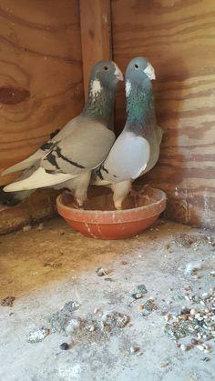 Dove Pigeon, Birds, Bird