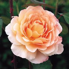 Tamara: a David Austin English rose that is reported to do well in hot & humid areas