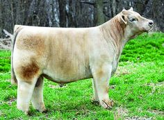 CHOPPIN WOOD    DOB: March 2010  BW:88 Pounds  TH: Carrier  PHA:Free  SIRE:Troubador  DAM:Heat Wave  Raised By:Powers Cattle - Ohio  Owned With: Phil Lautner   www.mattlautnercattle.com