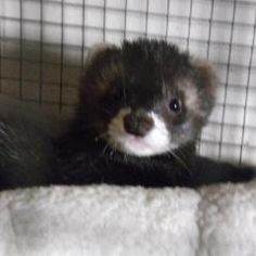 Clyde the FERRET needs a new home. Please contact Shelter for details phone 01481 257261 Guernsey Society for the Prevention of Cruelty to Animals, Les Fiers Moutons St Andrews Guernsey, Channel Islands GY6 8UD. E-mails: Steve Byrne GSPCA Manager stevejbyrne@gspca.org.gg Lorna Prince, Welfare Manager lornaprince@gspca.org.gg Sarah Creasey, Welfare & Education Officer sarahcreasey@gspca.org.gg Richard Chandler Administration Manager admin@gspca.org.gg