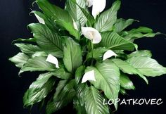 How to Grow and Care for Peace Lilies (Spathiphyllum): Peace Lilies like indirect light and shade, making them ideal for indoor environments. They're even known to do well in offices with. Peace Lily Flower, Peace Lily Plant, Growing Flowers, Growing Plants, Planting Flowers, Flowering Plants, Terrarium Plants, Aquatic Plants, Tropical Plants