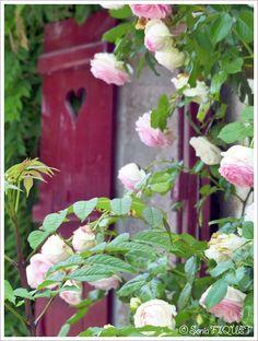 Roses © Sonia FIQUET