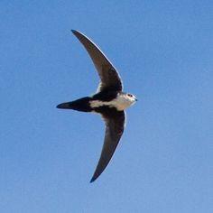 White-throated Swift 7/19/14- bird watching hike in Round Canyon