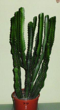 Euphorbia triagularis Kaktus Cactus Sukkulente Kakteensammlung, Nr. B10