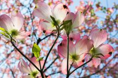https://flic.kr/p/rhxU4f | dogwood - はなみずき | I rode a bicycle after a long absence. A lot of flowers bloomed in this neighborhood. I was going to be late carelessly on that day. On April 17, 2015 in Fujimidai, Nerima-ku. ----- 久しぶりに自転車に乗ったら、あちこちで花がたくさん咲いていました。この日はうっかり遅刻するところでした。 2015年4月17日、練馬区富士見台にて。