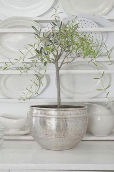 Um jardim para cuidar: Adoro oliveiras em vaso !