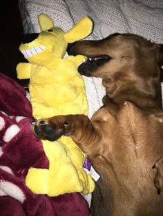 He won't let his new Petco toy out of his sight (or mouth!) even while sleeping !