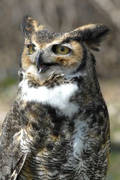 Great horned owls are fierce predators with an appetite for skunks (an unusual yet regular part of their diet), birds (hawks and waterfowl), and mammals (commonly mouse to rabbit size). They use their sharp eyesight, acute hearing, and specially edged feathers for nearly silent flight to hunt and capture prey stealthily at night.