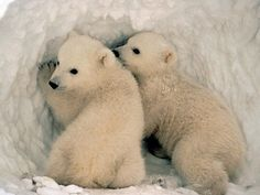 pictures of polar bear life cycle - Google Search