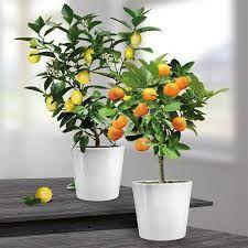 citroenboompje op stam - Google zoeken