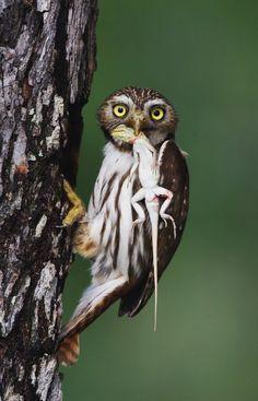 ʚĭɞnatureza - Ferruginous Pygmy-Owl (Birds of Prey, Owls) Beautiful Owl, Animals Beautiful, Cute Animals, Owl Bird, Pet Birds, Nocturnal Birds, Photo Animaliere, Owl Pictures, Mundo Animal