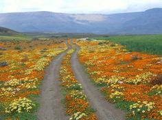Flowered splendor in Namaqualand after brief rains fall in early spring . South of Namibia. Flower Road, Reality Of Life, Photo Competition, Early Spring, Pathways, West Coast, South Africa, Road Trip, Places To Visit