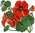 Climbing nasturtium. Think I'm going to try growing this.