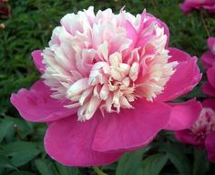 пион celebrity: 10 тыс изображений найдено в Яндекс.Картинках Rose, Flowers, Plants, Image, Pink, Plant, Roses, Royal Icing Flowers, Flower