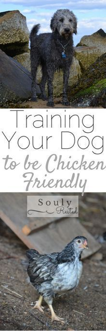 Chicken Coop - Can you train a dog to be off leash around chicken? Yes, at least in our situation, with our labradoodle, yes! Heres how we did it--> Building a chicken coop does not have to be tricky nor does it have to set you back a ton of scratch. Keeping Chickens, Raising Chickens, Backyard Farming, Chickens Backyard, Chicken Life, Chicken Houses, Chicken Pen, Chicken Tractors, Chicken Coops
