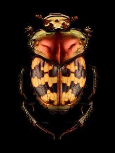 Splendid-necked Dung Beetle – Helictopleurus splendidicollis (Coleoptera…