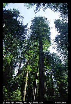 Towering redwoods, Lady Bird Johnson grove. Redwood National Park (color)