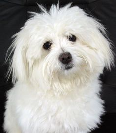 Francie -  the Coton de Tulear is a breed of small dog named for the city of Tuléar in Madagascar and for its cotton-like coat.