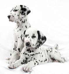 Have Dalmatian puppies Alex and Alice. Cute Dogs Breeds, Dog Breeds, Cute Puppies, Dogs And Puppies, Doggies, Corgi Puppies, Dalmatian Dogs, Tier Fotos, Mundo Animal