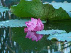 """Photo """"LotusinMyanmar"""" by jennymedley"""