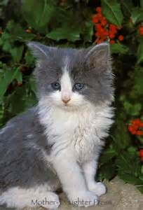 gray and white cats - - Yahoo Image Search Results