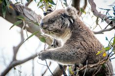Koala in a Eucalyptus Tree, Australia - Fellow authors looking for research? Look what I found...a travel site to take you anywhere you want to go