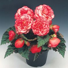 Begonia x tuberhybrida 'Nonstop® Rose Petticoat' F1 Hybrid - Half-hardy Annual Seeds - Thompson & Morgan