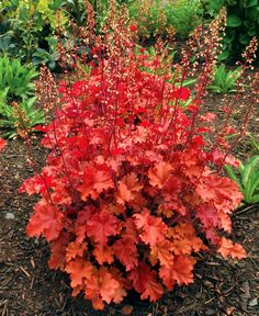 Heuchera (Coral Bells) is one of my favorites. Its an evergreen perennial that comes in a wide array of colors. It does very well in shade and doesn't require much water. Coral Bells, (Heuchera) 'Peach Crisp' - attracts hummingbirds and butterflies Shade Perennials, Shade Plants, Shade Garden, Garden Plants, Beautiful Gardens, Beautiful Flowers, White Flowers, Coral Bells Heuchera, Peach Crisp