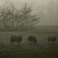 Schapen in de mist.
